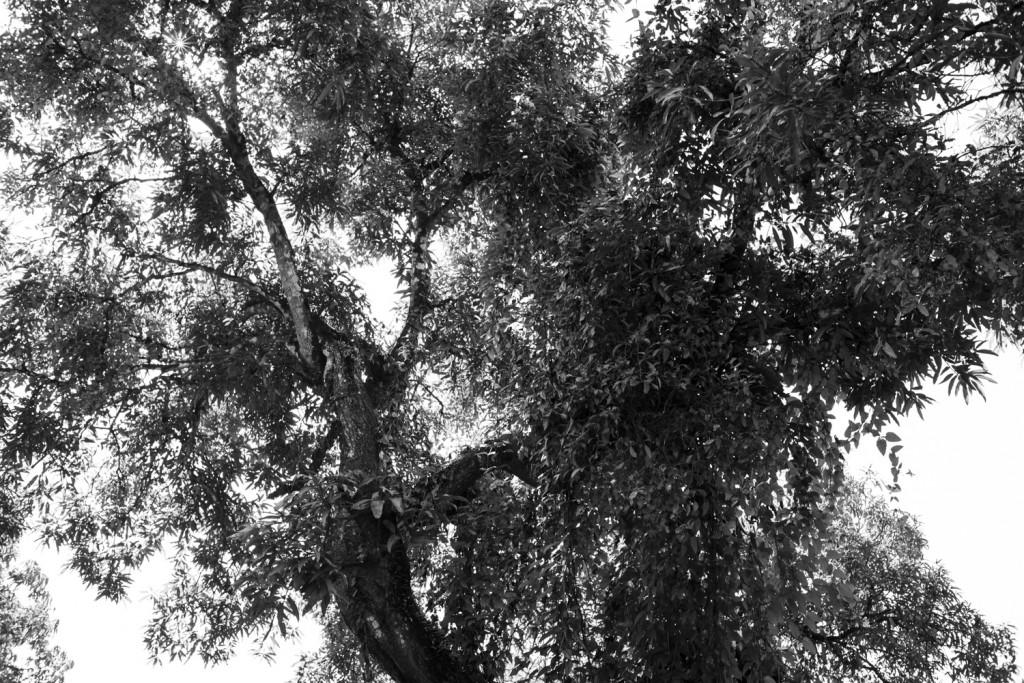 The Totapuri Mango tree, favourite of all my cousins.